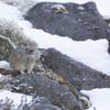 雪背景で初めて撮ったナキウサギ