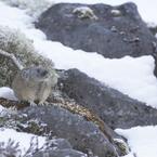 SONY ILCA-77M2で撮影した(雪背景で初めて撮ったナキウサギ)の写真(画像)