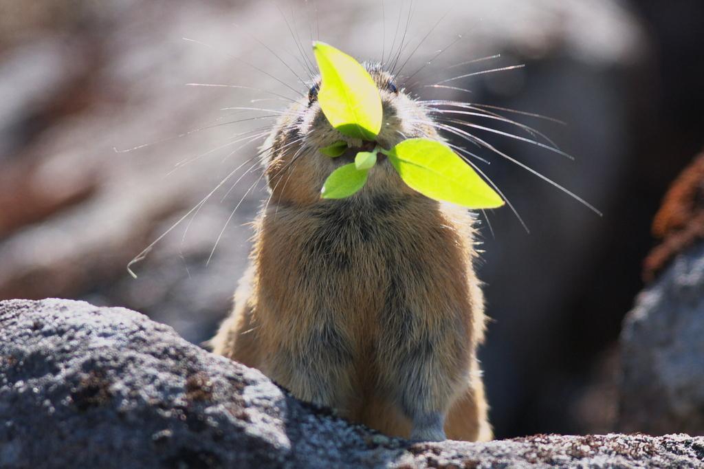ナキウサギお食事中