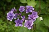 長谷寺紫陽花