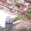 オオムラザクラと玖島城