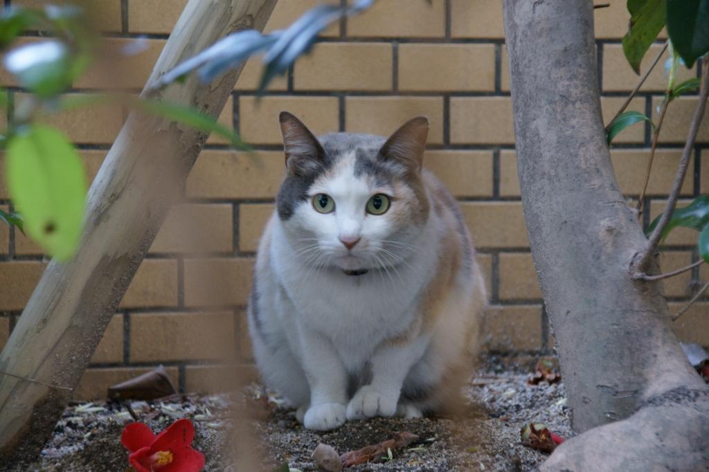 近所のネコ