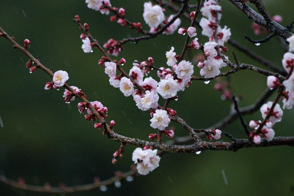 5195m 雨中の梅花-2