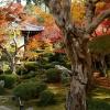 京都左京区圓光寺のさるすべり