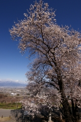 甲州蚕影桜