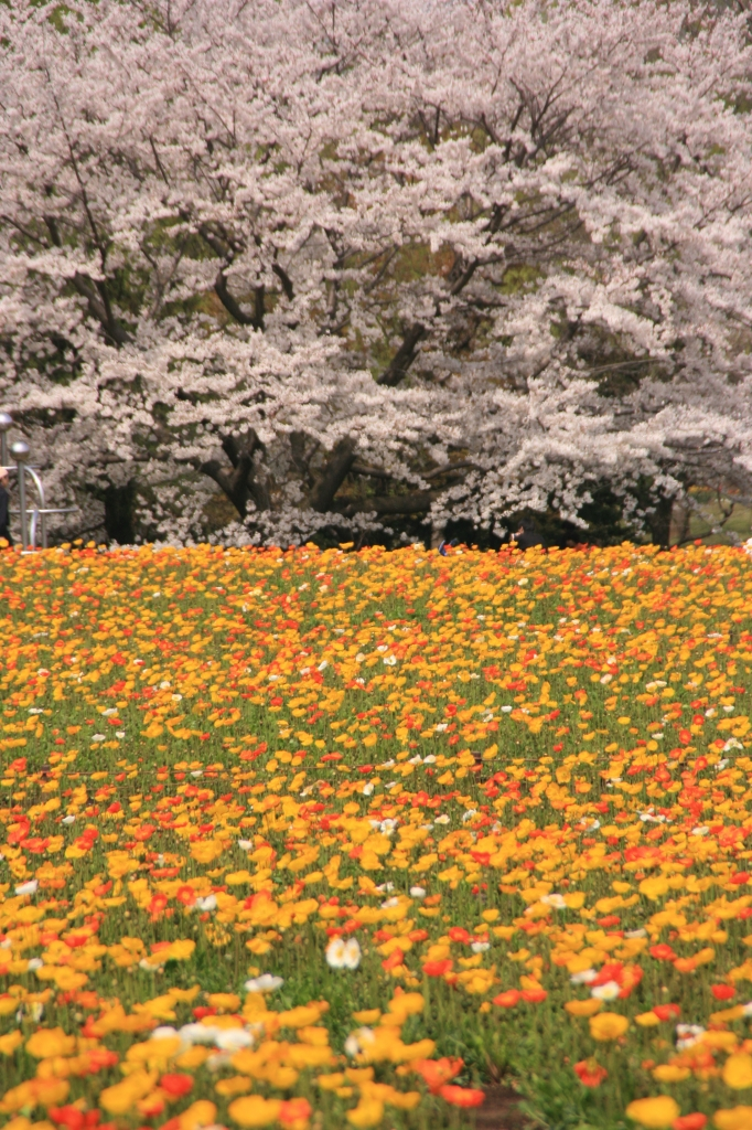 桜とポピー