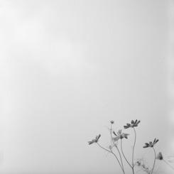 HASSELBLAD 500C/Mで撮影した植物(描写)の写真(画像)