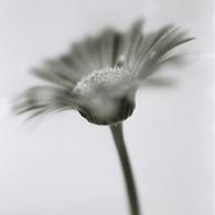 HASSELBLAD 500C/Mで撮影した植物(ガーベラ)の写真(画像)