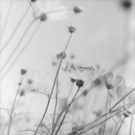 HASSELBLAD 500C/Mで撮影した植物(やさしい世界)の写真(画像)