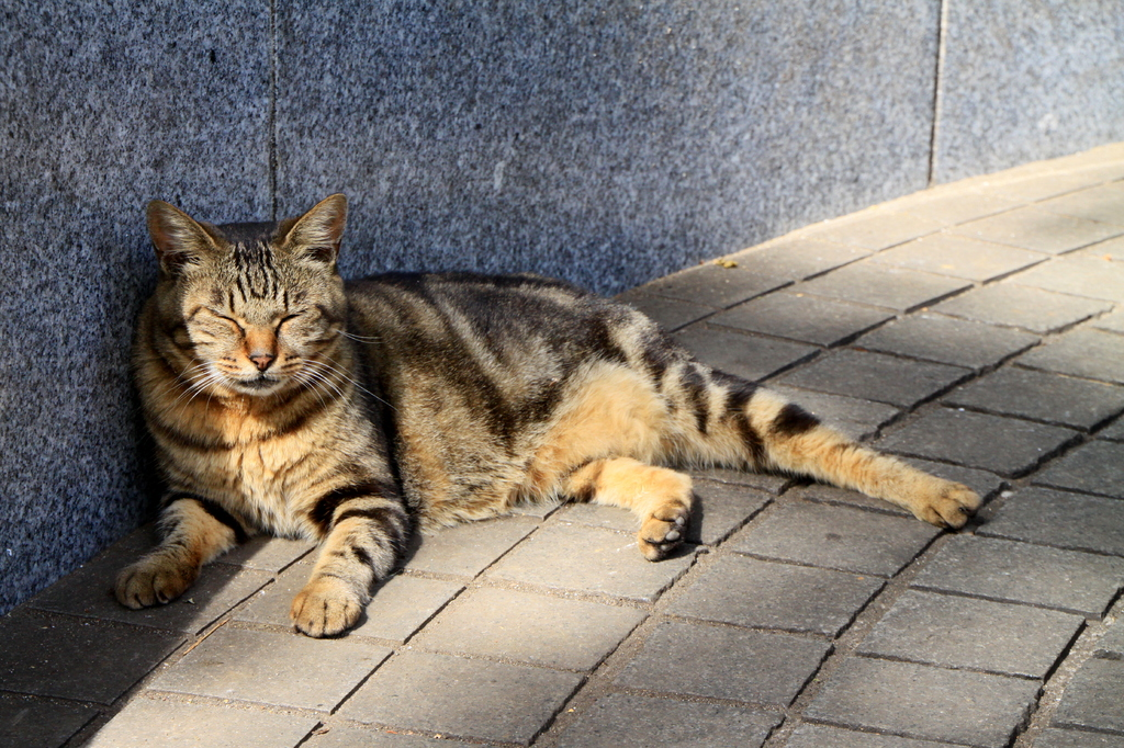 江ノ島の猫