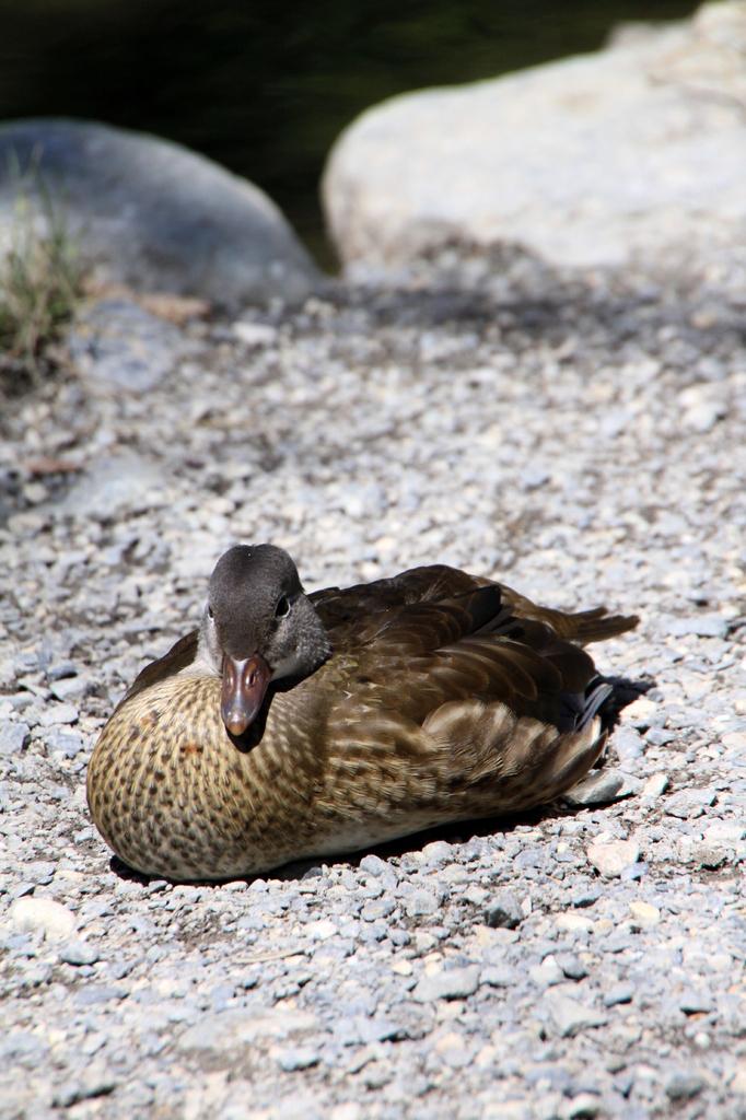 明神池の鴨