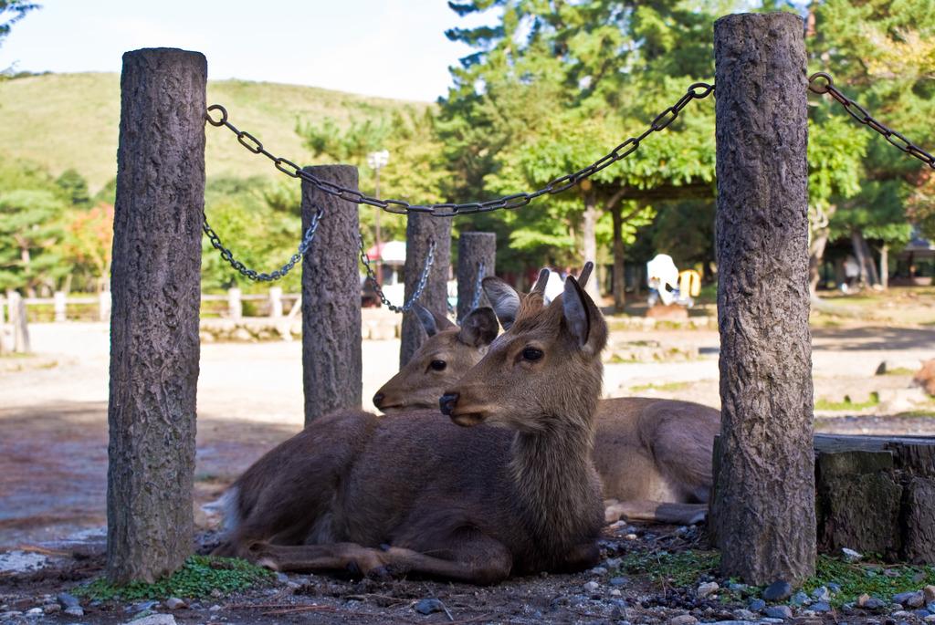 鹿(東大寺周辺)