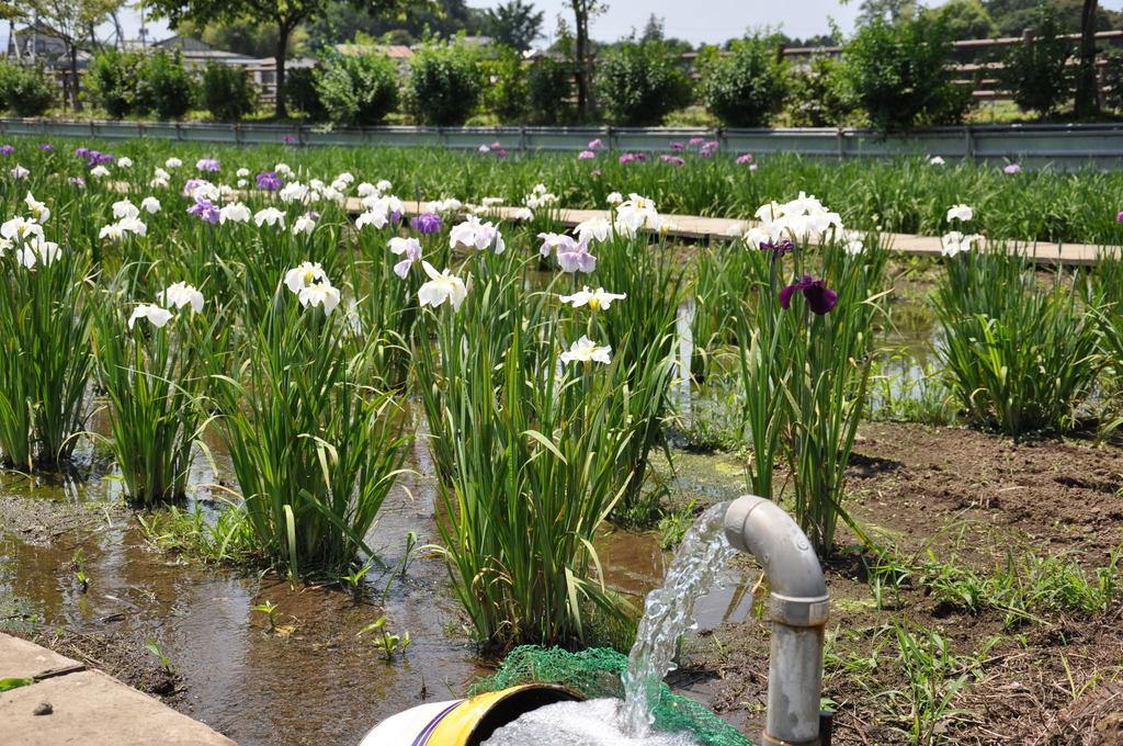 花菖蒲畑に注水