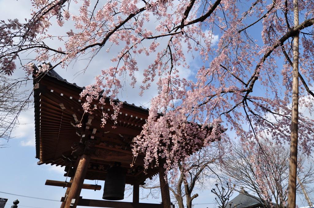 鐘と枝垂桜