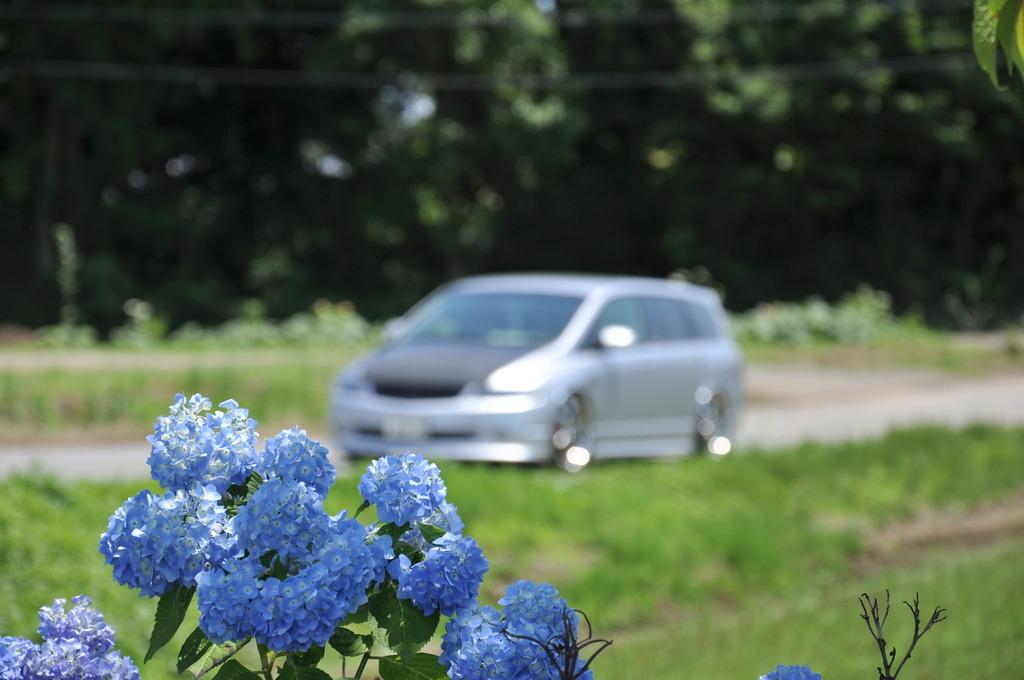 紫陽花と愛車