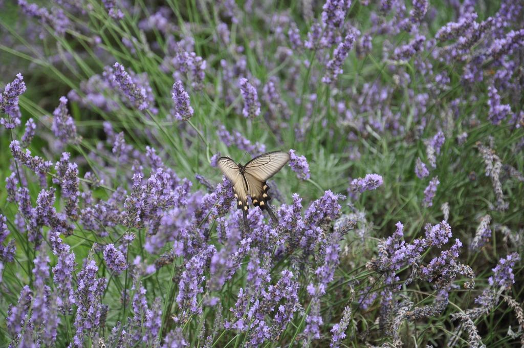 ラベンダーと揚羽蝶