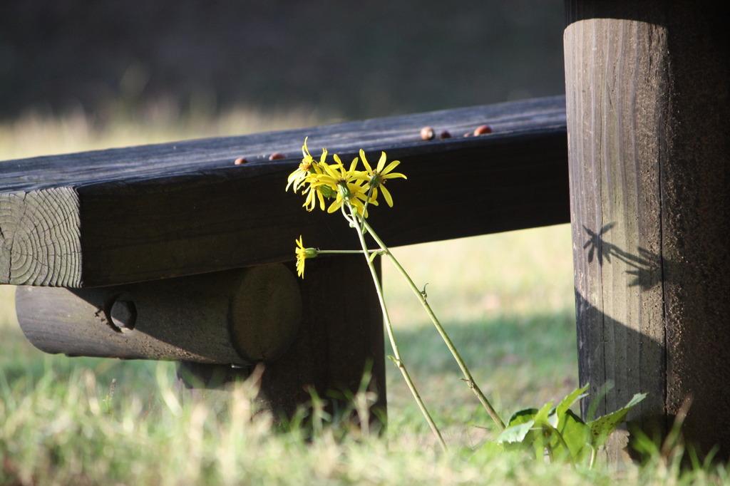 カゲヒナタに咲く