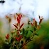 紅い葉っぱ