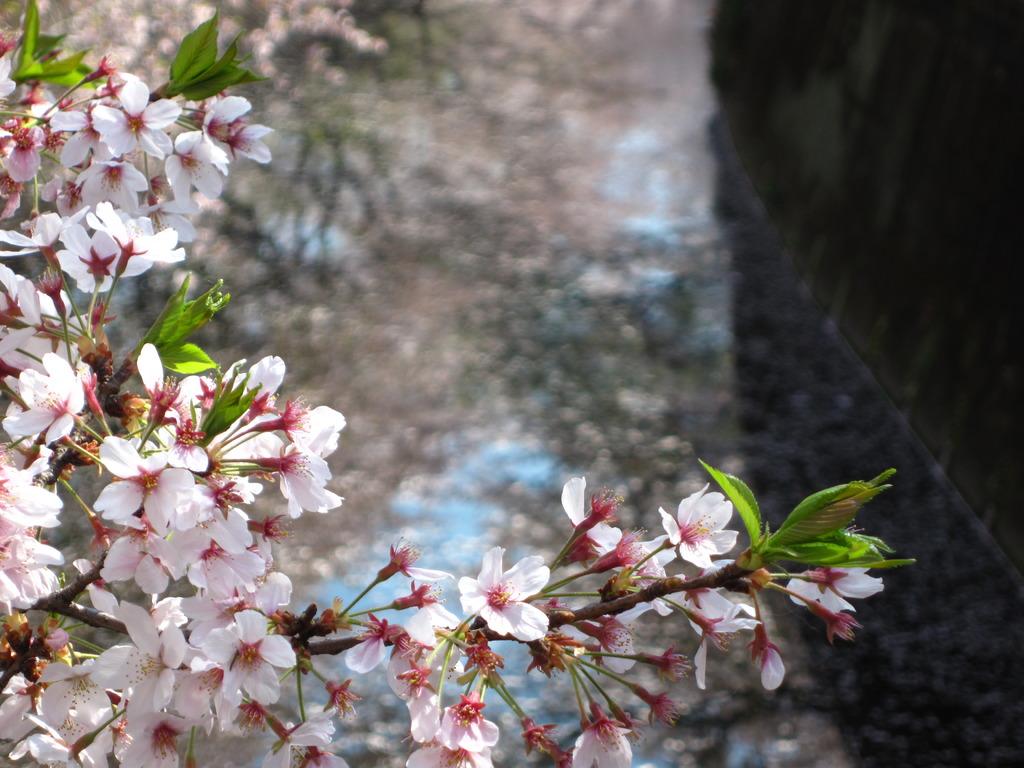 成城の桜2009