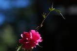 神社の山茶花(サザンカ)が咲いた2