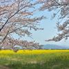 藤原宮跡の菜の花畑3
