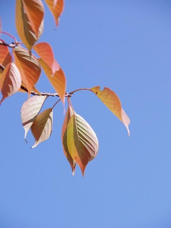 紅葉(桜)2
