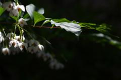 街角に咲く野茉莉(エゴノキ)