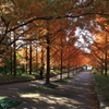 神戸市立森林植物園にて2(メタセコイア並木)