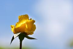 須磨離宮公園の黄色の薔薇(バラ)