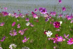 田圃に咲く秋桜(コスモス)