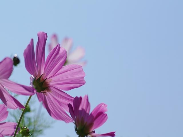 秋桜(コスモス)1