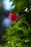 神社の山茶花(サザンカ)が咲いた