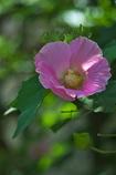 芙蓉(フヨウ)の花がまだ咲いていた