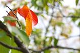 色づきはじめた公園の桜葉