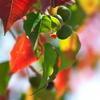 紅葉を待つ木々たち(ナンキンハゼ)