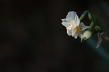 神社の八重咲水仙(ヤエザキスイセン)が咲いた2