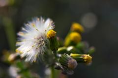 春を運ぶ野草花(ノボロギク)