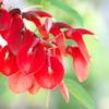 街角に咲く夏の花(アメリカデイゴ)