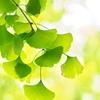 紅葉を待つ木々3(イチョウ)