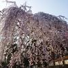 奈良花巡り4(氷室神社の枝垂れ桜)