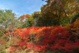 神戸市立森林植物園にて3(ドウダンツツジ)
