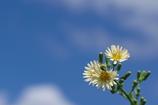 農道脇に咲く野草花(アキノノゲシ)