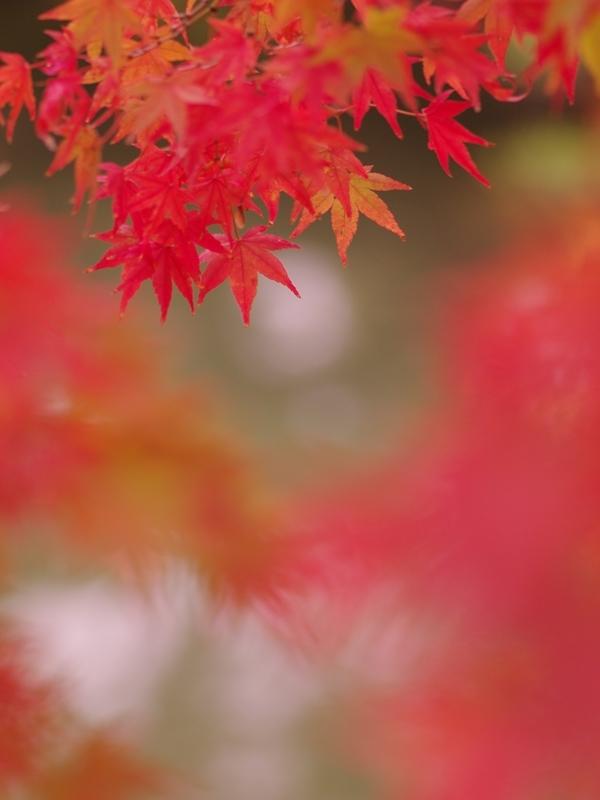 紅葉(もみじ)の紅葉(こうよう)2
