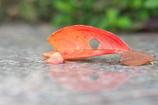 サクラの落葉