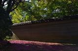 神社の山茶花(サザンカ)の落花