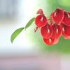 盛夏に咲く真っ赤な花(アメリカデイゴ)