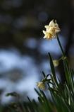 神社の八重咲水仙(ヤエザキスイセン)が咲いた1