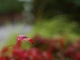 紅色探し1(お多福南天)