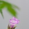 路傍に咲く野草花(ホシアサガオ)