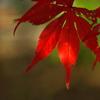 住吉神社の紅葉(モミジ)3